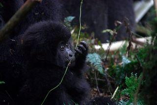 Baby Gorilla Tastes a Vine