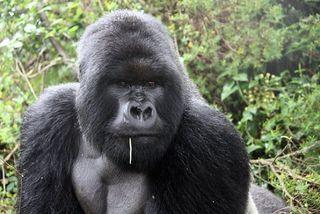 Charles, Boss Gorilla