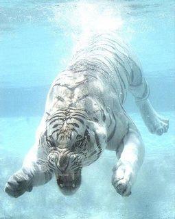 Tiger Submerged