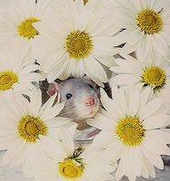 Pushing Daisies Rat